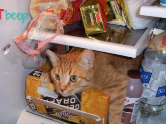 why do cats like going in the fridge