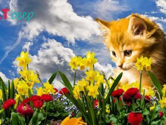 Are daffodils poisonous to cats