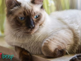 Ragdoll Cat Colors