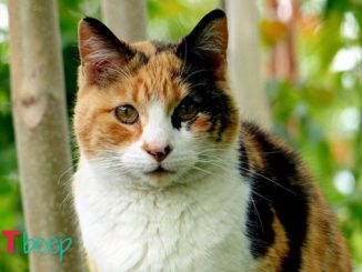 What percentage of calico cats are female