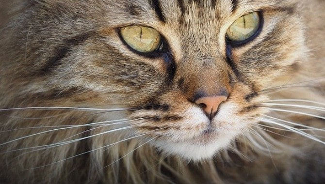 Can Cats Whiskers Grow Back